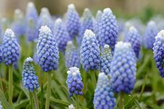 Buy bulbs of Muscari aucheri 'Ocean Magic' (Grape hyacinth) at De Warande. The flowers of 'Ocean Magic' graduate from a white tip to a deep blue base. Pansies, Daffodils, Dark Blue Flowers, Solomons Seal, Flower Identification, The Colour Of Spring, Spring Bulbs, Orchids, Ocean