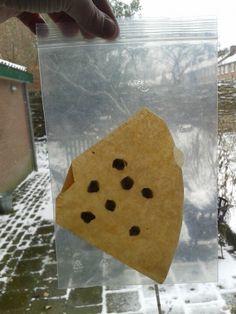 Grote zaden kun je in een vochtige koffiefilter laten ontkiemen. Het plastic zakje voorkomt dat de koffiefilter niet uitdroogt.