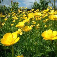buttercups. we would hold them under each other's chin. if they were shiny, that meant you liked butter :)