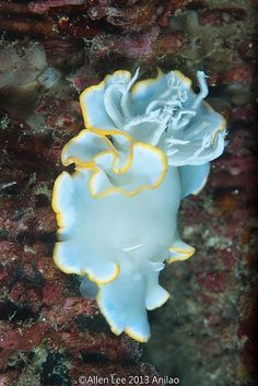sea slugs art | Nudibranch Ardeadoris egretta