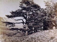 Félix BONFILS (1831-1885) Les cèdres du Liban, années 1870
