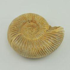 [4540] ammonite polished from madagascar