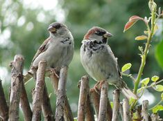 Looks like Sparrows..they are called common but are amazing...and what singers.