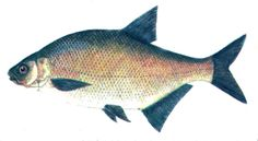 Lahna - Braxen - Common bream Fish, Pisces