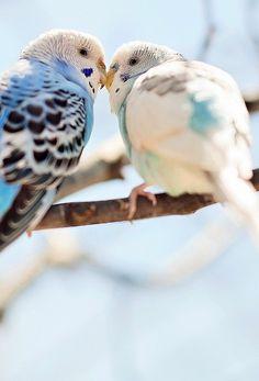 Qué tristeza que nunca había visto a estos cotorritos del amor en su hábitat natural.