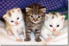 GATOS         El  gato o  gato doméstico ( Felis silvestris catus ) es una subespecie de  mamífero  carnívoro  de la  familia  Fel...