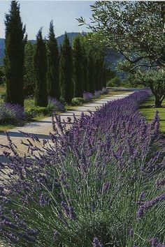 cypress one side lavender other driveway