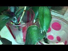 Suda orkide , Kökü kalmamış orkideyi canlandırma, orkide tohumundan çimlendirme - YouTube Inside Plants, Farmer, Orchids, Watermelon, Fruit, Flowers, Istanbul, Craft, Botany