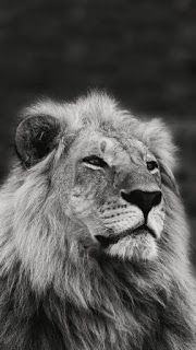 Iphone Wallpaper Black And White Lion Wallpaper Wallpaper4k Wallpaperhd Wallpaperiphone Black And White Lion Animals Black And White Lion Wallpaper Iphone