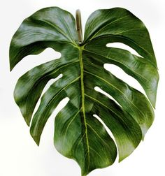 Split Philodendron Leaf