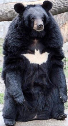 Asiatic black bear (moon bear) He's the Bear Gotham deserves, but not the one it needs