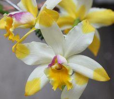 Inter-Generic Orchid-Hybrid Rlc: RhynchoLaelioCattleya Kyle 'Hearts-of-Gold'