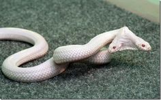 two headed albino snake in Ukraine's zoo