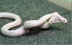 two headed albino snake in Ukraine's zoo