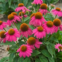 Top 10 Coneflowers: Best Compact Coneflower is AAS Winner PowWow Wild Berry