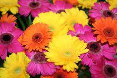 「ガーベラの色の種類」の画像検索結果