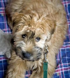Soft-Coated Wheaten Terrier Another breed I would LOVE to have Cute Puppies, Cute Dogs, Dogs And Puppies, Doggies, Whoodle Dog, Skye Terrier, Terriers, Fear Of Dogs, Tibetan Terrier