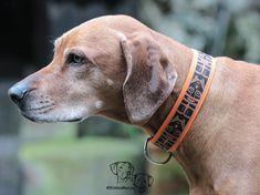 Kimba with her new dog collar