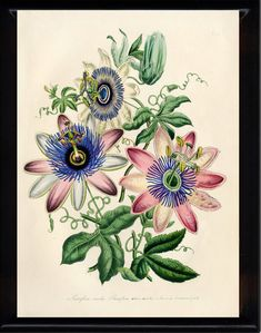 Drawing Flowers Antique Prints by Jane Loudon, from the Ladies Flower Garden or Ornamental Exotic Plants 1849 Vintage Botanical Prints, Botanical Drawings, Antique Prints, Botanical Art, Botanical Illustration, Plant Drawing, Drawing Flowers, Passion Flower, Exotic Plants