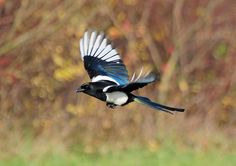 Magpie (Pica pica) Flying at RSPB Old Moor, Barnsley by Steve Greaves, via Flickr Pie Bavarde, Magpie Tattoo, Black Wings, Barnsley, Naruto Shippuden Anime, Painting Inspiration, Pet Birds, Crow, Beast