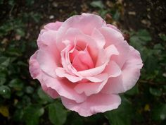 rosa hybride gesha floribund