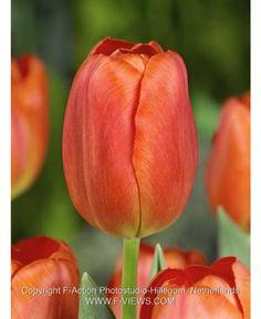 Tulip Orange Cassini
