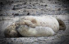 Kegelrobbe mit Jungtier - Im Weltnaturerbe und Nationalpark Wattenmeer gibt es immer mehr Kegelrobben. Bei Zählflügen im Frühjahr an der dänisch-deutsch-niederländischen Nordseeküste haben Experten einen neuen Rekord von knapp 5000 Tieren gezählt. Von den aktuell fast 5000 an der Nordseeküste gezählten Kegelrobben waren 148 in Dänemark, 1092 in Deutschland, und 3696 im niederländischen Wattenmeer.
