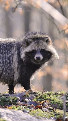 Tanuki (Raccoon dog) Raccoon dogs may look like raccoons, but they aren't! They…