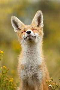 Happy Fox Print by Roeselien Raimond