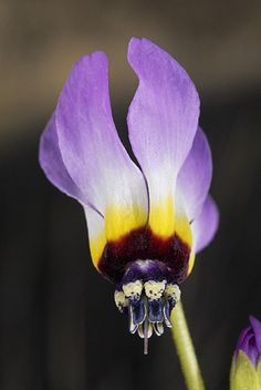 Dodecatheon clevelandi patulum - Padres' Shooting Star