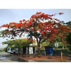 "83 Me gusta, 12 comentarios - Mara (@mara.jg) en Instagram: ""Naturaleza/ nature... #Caracas #Venezuela #árbol #tree  #apamate #tabeuia #blooming #rojo #red"""