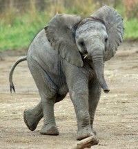 Indianapolis Zoo: African elephant Zahara 2010