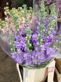 Stocks 'Figaro Lavender'. Sold in bunches of 10 stems from the Flowermonger the wholesale floral home delivery service.