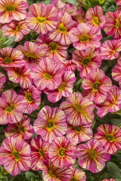 Buy Calibrachoa SUPERBELLS Tropical Sunrise - Buy Million Bells Annuals Online. Garden Crossings Online Garden Center offers a large selection of Million Bells Plants. Red Plants, Live Plants, Petunias, Container Plants, Container Gardening, Flower Containers, Container Size, Calibrachoa Plant, Million Bells