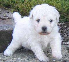 Hungarian Puli puppy