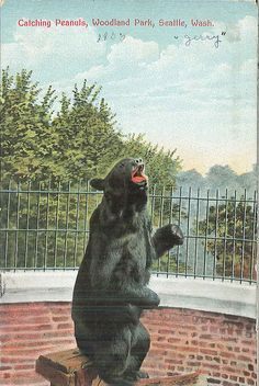 Jerry the bear at Woodland Park Zoo, 1900 Female Gorilla, Western Lowland Gorilla, Woodland Park Zoo, Reptile House, Ostriches, Pony Rides, Pet Cage, Polar Bear, Seattle