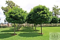 Winter Hill Tree Farm is an advanced tree nursery in the Southern Highlands of New South Wales growing and selling mature trees, advanced trees and big hedging plants.
