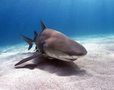 lemon shark above the sand, Bahama's. Sea Shark, Shark Art, Orcas, Cute Shark, Shark Swimming, Beautiful Fish, Beautiful Images, Sea Otter, Sharks