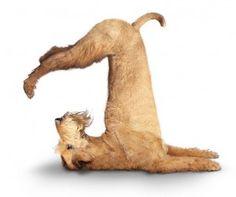 Yoga dog no 1