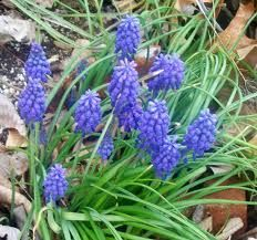 Blue muscari (grape hyacinth) isn't really wild but does escape there...I found some lovely ones growing down near the river and they've joined my other friend in the little wildflower areas of my garden