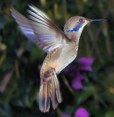 Brown Violet-Ear Hummingbird (Colibri delphinae) is a large hummingbird of S.A. The 11.5 cm long, 6.5-7 g weight Brown Violetear is unmistakable; it is mainly dull brown, with a rufous rump and greyer underparts. There is a violet patch running back and down from the eye, a hermit-like malar stripe, and a glittering green and blue throat stripe. The bill is relatively short and almost straight. The female has a smaller throat patch.