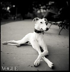 Greyhounds were the original models because they are super skinny, have tiny waists and long legs models are just jealous