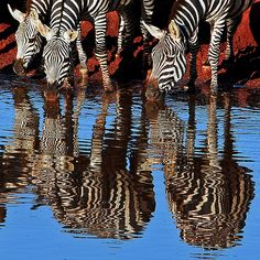-double the stripes.Zebras Drinking at Sunrise (by jay_kilifi) Beautiful Creatures, Animals Beautiful, Cute Animals, Safari Animals, African Animals, African Safari, Nature Animals, Exotic Animals, Zebras
