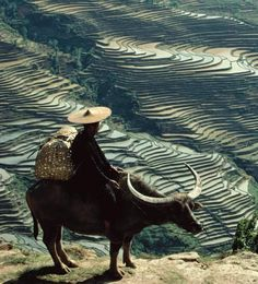 Man on a water buffalo overlooking terraced rice paddies, Yunnan province, China.    Credit: Yann Layma—Stone/Getty Images