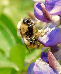 Bumblebees: Extremely effective pollinators, but extremely bad at climate change http://slate.me/1IOfkr0