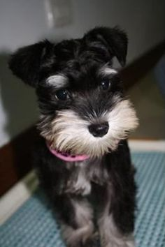 Aww this  mini schnauzer puppy is so ADORABLE and perfect it looks like a stuffed toy