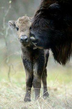 Yellowstone Buffalo and Calf