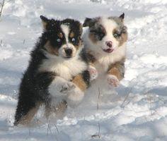 Puppy Photos - Quality Aussies