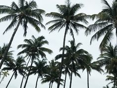 Goodmorning 🌴   #kisterss #miami #miamibeach #palmtrees #vacay Miami Beach, Palm Trees, Georgia, Plant Leaves, Plants, Palms, Flora, Plant, Planting