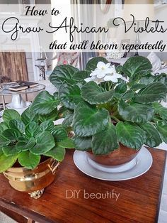 How to Grow Flowering African Violets www.diybeautify.com
